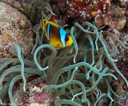 BD-090405-St-Johns-4052578-Amphiprion-bicinctus.-Rüppell.-1830-[Twoband-anemonefish.-Tvåbandad-clownfisk].jpg